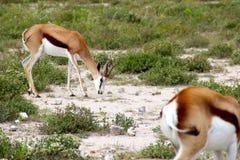 Antílopes de la gacela en Etosha Namibia África Foto de archivo
