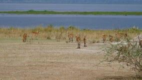 Antílopes del impala en orilla del lago en sabana africana salvaje almacen de video