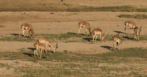 Antílopes del impala que pastan almacen de metraje de vídeo