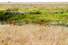 Antílopes del melampus del Aepyceros del impala en el parque nacional de Serengeti Fotos de archivo