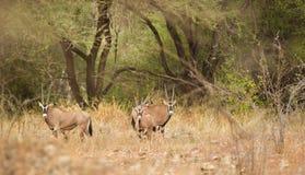 Antílopes do Oryx no parque nacional de Tsavo Fotografia de Stock Royalty Free