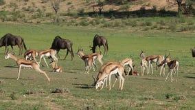 Antílopes e gnu de alimentação da gazela vídeos de arquivo