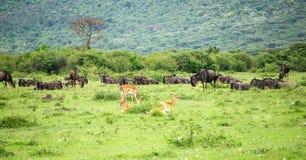 Antílopes impala y ñus que pastan en prado en la sabana africana imagen de archivo libre de regalías