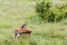 Antílopes negro-hechos frente masculinos de un impala (melampus del Aepyceros) Foto de archivo libre de regalías