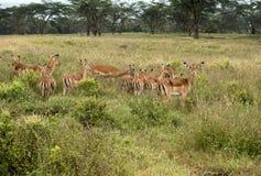 Antílopes que pastam na planície do lago Nakuru National Park Fotos de Stock Royalty Free