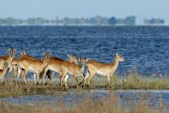 Antílopes vermelhos do lechwe fotos de stock royalty free