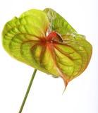Antúrio verde Imagens de Stock Royalty Free
