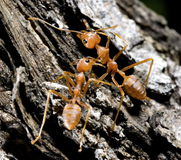 Ant 02 Royalty Free Stock Images