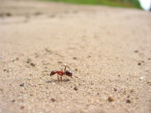 Ant. On the road royalty free stock photos