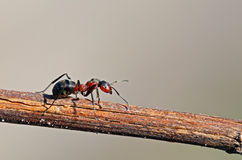 Ant. Beauty Ant on the sprig Royalty Free Stock Photo