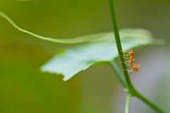 An ant Royalty Free Stock Photo