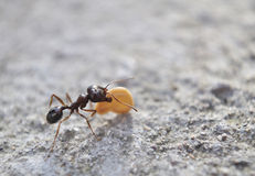 Ant. Close up of ant carrying seed Royalty Free Stock Image