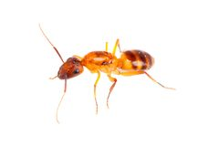 Ant. Macro shot of a brown ant Royalty Free Stock Photos