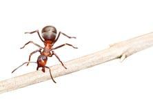 Ant Royalty Free Stock Photos