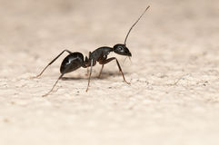 Ant. Carpenter ant  on white background. This ant is a major pest on houses Stock Image
