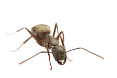 Ant. Close up of ant isolated on white, focus on head, large uncropped 8MP file Stock Images