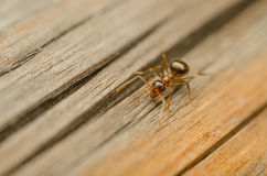 Ant. Macro Photo Of A Red Ant Walking On A Wooden Plank Stock Photo