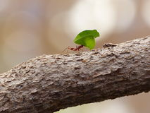 Ant. Moving leaf on a tree branch Stock Photos