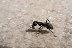 Ant. Running ant Stock Images