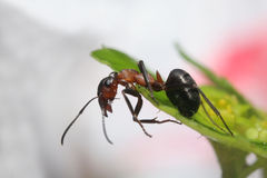 Ant Royalty Free Stock Photos