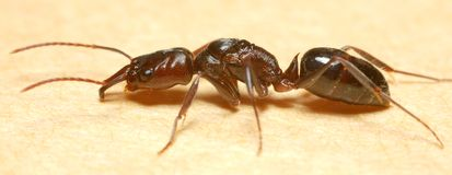 Ant. Taken by Macro Photography Royalty Free Stock Photography