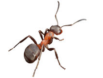 The ant Stock Image