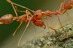 Free Ant Royalty Free Stock Photography - 86095777