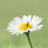 Ant. Brown ant on daisy closeup Royalty Free Stock Image