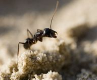 Ant. Close-up of an ant Royalty Free Stock Images