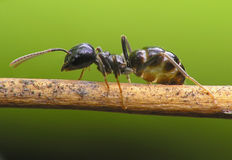 Ant. On bridge Royalty Free Stock Image
