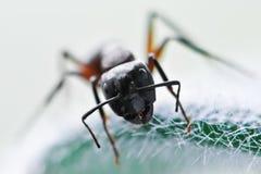 Ant Stock Image