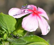 Ant admiring the water drops on the flower. Ant admiring the water drop reflection a beautiful flower Royalty Free Stock Image
