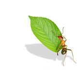 Ant And Leave Stock Image