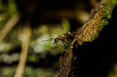 Ant, animals, macro, insect, arthropod, nature, invertebrate. Forest ants in the wild live stock photography