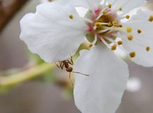 Ant. On a cherry blossom Royalty Free Stock Photo