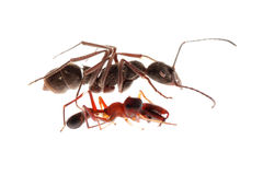 Ant and ant mimic spider Stock Image