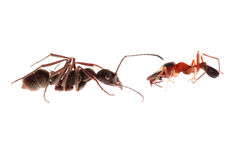Ant and ant mimic spider. Myrmarachne, isolated on white background Stock Photography