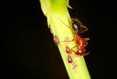 Ant ant tending to a herd of Aphids Royalty Free Stock Photo
