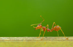 An Ant Royalty Free Stock Photography