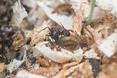 Ant. S with larva and with dead spider Stock Photos