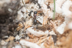 Ant. S with larva and with dead spider Stock Photo