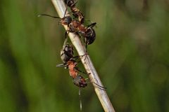 Ant. S sitting on the stem of a pl Stock Image