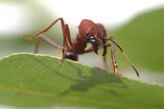 Ant ants  walking on green leaf. Stock Photography