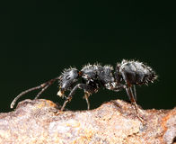 Ant and aphid Royalty Free Stock Photos