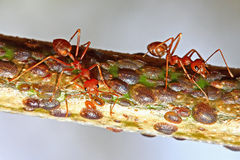 Ant and aphid Stock Photo