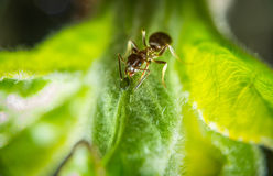 Ant and aphid Royalty Free Stock Photography