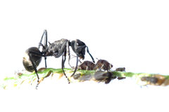 Ant and aphid symbiosis Royalty Free Stock Photography