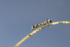 Ant and aphid symbiosis Stock Image