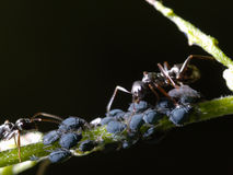 Ant with aphids Royalty Free Stock Photo