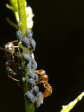 Ant with aphids Royalty Free Stock Photography